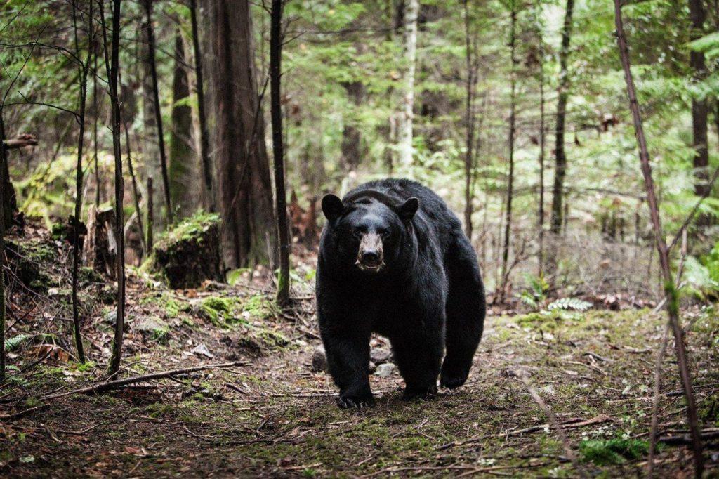 Bear from Backcountry movie